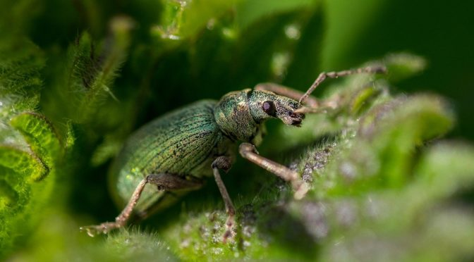 Beetle – the Bug That Can Be Pest